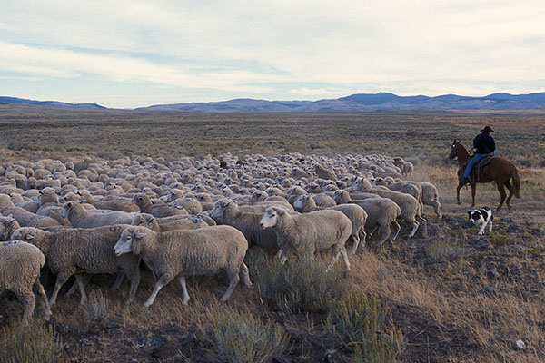 Trailing of the Sheep